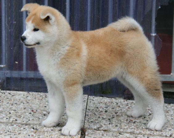 Akita Inu Welpe - (Hund, Nase, Rasse)