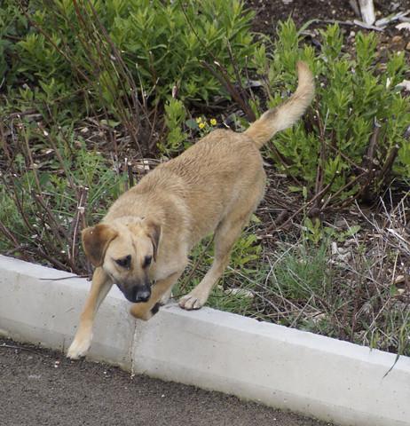 Straßenhund - war nach 3 Tagen wieder weg - (Hund, Kroatien)