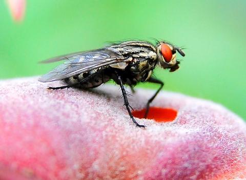 warum haben fliegen 8 beine insekten. Black Bedroom Furniture Sets. Home Design Ideas