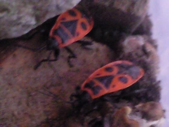 meine 2 Feuerwanzen habe 4 dafon - (Tiere, Insekten, Terrarium)