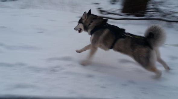- (Hund, Welpen, Geschirr)