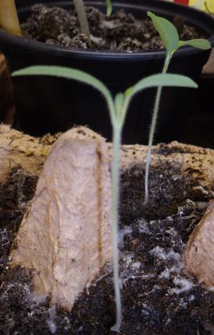 ca. 3 Woche alt - (Pflanzen, Natur, Tomaten)