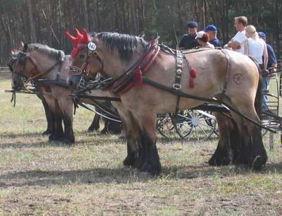 Kaltblüter - (Pferde, Kaltblut, Lebenserwartung Pferd)