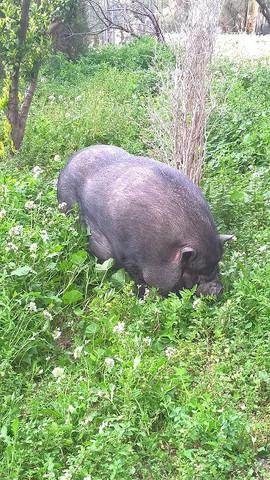 - (Tiere, Alter, Schwein)
