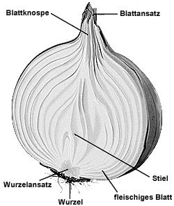 wieso bezeichnet man die zwiebel als gestauchten spross biologie pflanzen. Black Bedroom Furniture Sets. Home Design Ideas