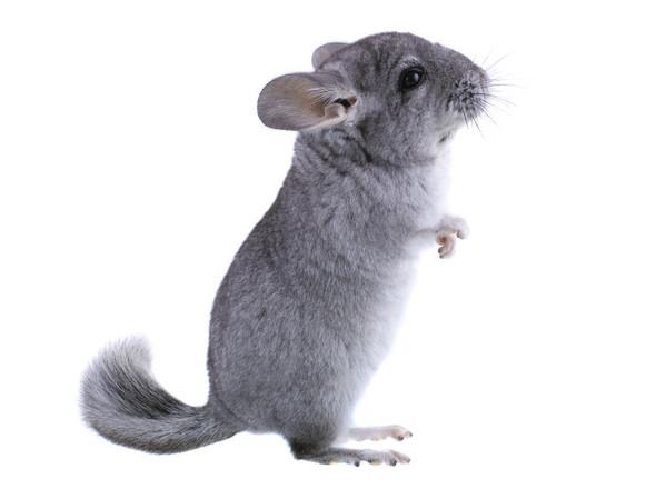 Chinchilla - (Tiere, Haustiere, Nager)