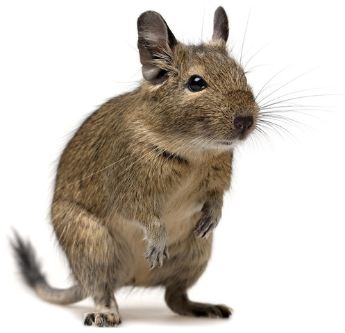 Degu - (Tiere, Haustiere, Nager)