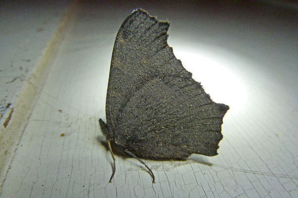 Tagpfauenauge - (Tiere, Schmetterling, winterschlaf)
