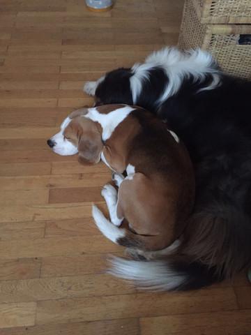 Beagle  - (Hund, Beagle, Reinrassig)