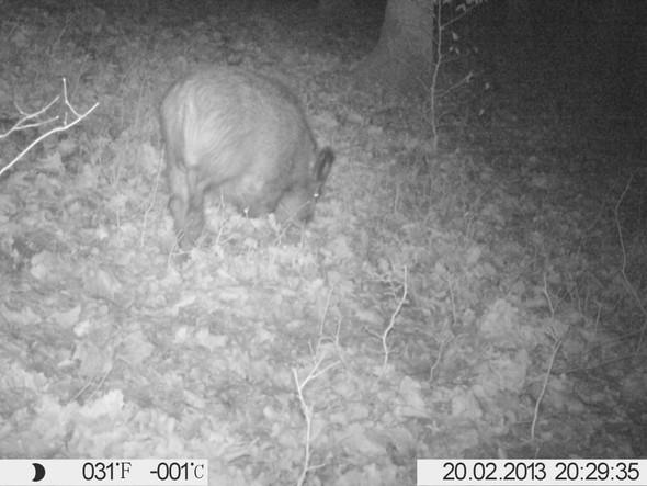 Wildschwein Jungtier - (Sicherheit, Nacht, Gefahr)