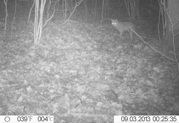 Fuchs - (Sicherheit, Nacht, Gefahr)