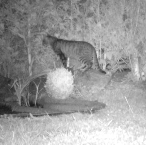 Echte Wildkatze - (Sicherheit, Nacht, Gefahr)