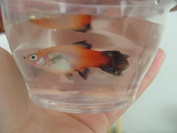 Platy - (Krankheit, Fische, Aquarium)