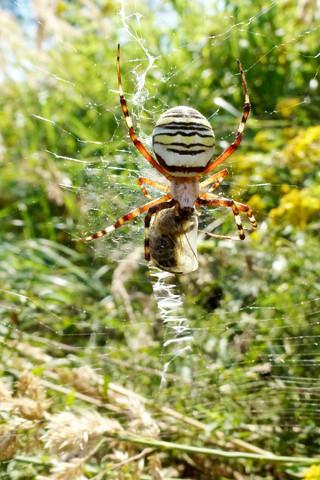 Wespenspinne - (Angst, Spinnen)