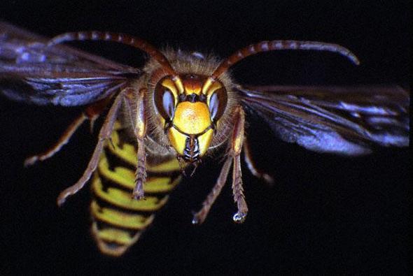 um welches insekt k nnte es sich dabei handeln insekten wespen hornissen. Black Bedroom Furniture Sets. Home Design Ideas