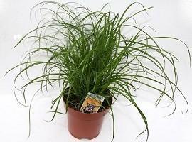 """Katzengras """"Cyperus zumula"""" - (Haustiere, Katzen, Pflanzen)"""