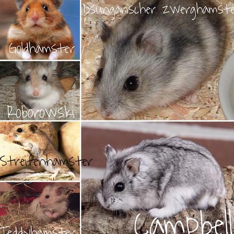 Alle artreine Hamster Arten  - (Hamster, Infos)