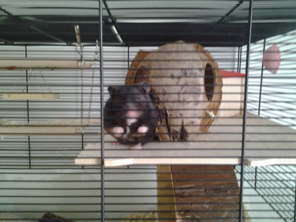 Molly😍 - (Hamster, kratzen, Goldhamster)