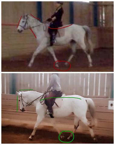 - (Pferde, Muskulatur)