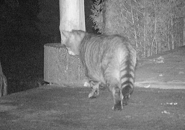 Wildkatze - (Kamera, E-Mail, Garten)