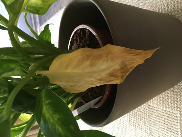 Gelbes Blatt - (Zimmerpflanzen, gelbe-blaetter, Diffenbachia)