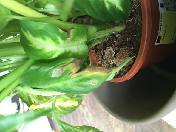 Braune Stellen - (Zimmerpflanzen, gelbe-blaetter, Diffenbachia)
