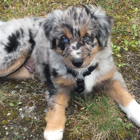 9 Wochen alt :)  - (Hund, Welpen)