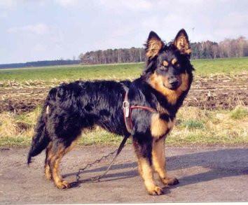 Harzer Fuchs - (Hund, Haustiere)
