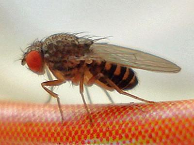 Fliege - (Insekten, Spinnen)