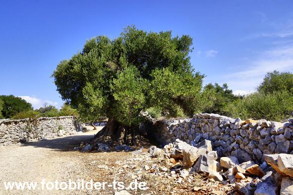 Olivenpark Lun eine alte Olive - (Urlaub, Reise, Länder)