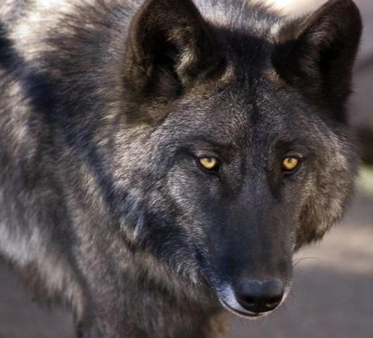 wolfshybrid - (Hund, Hunderasse, Wolf)