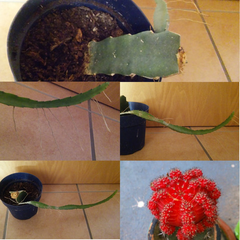 🌵 - (Pflanzen, Kakteen)
