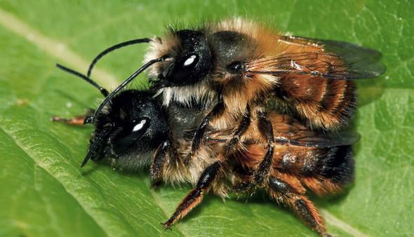 Wildbinenen - (Insekten, Bienen)
