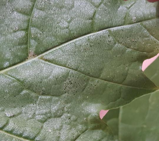 Ahornbau - (Pflanzen, Baum, Ahorn)