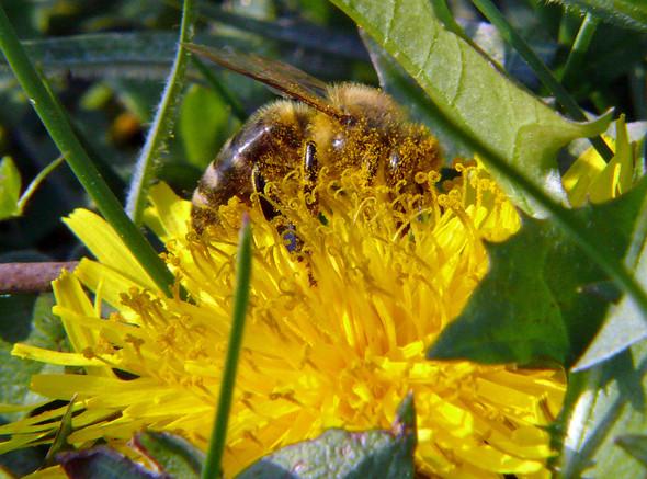 Biene im Pollenbad - (Tiere, Natur, Insekten)
