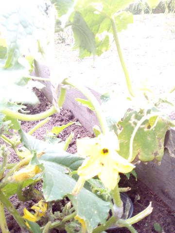 - (Garten, gurken, bekämpfen)