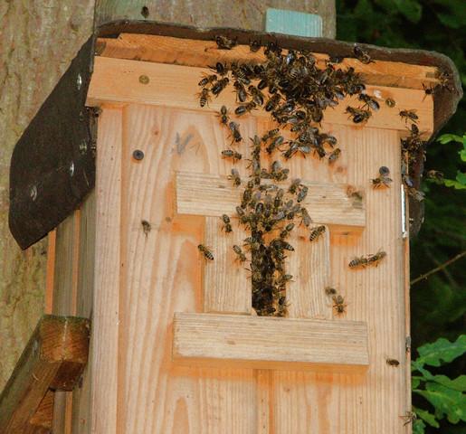 Bienenschwarm - (Leben, Bienen, Honigbienen)