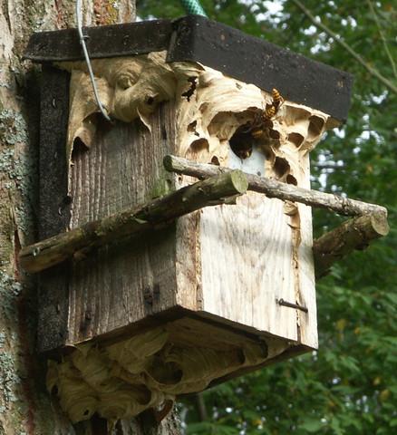 Hornissen - (Natur, Insekten, Filme und Serien)