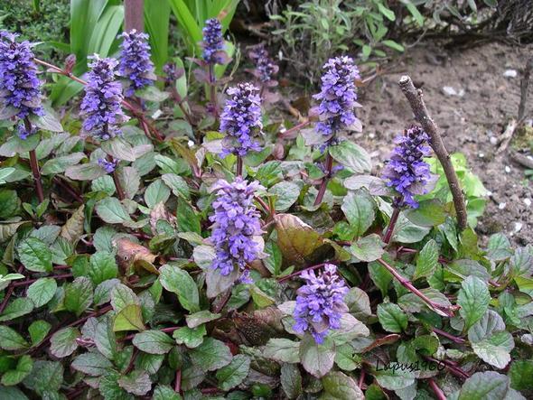 Kriechender Günsel  - (Pflanzen, Natur, Naturschutz)