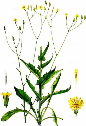 - (Pflanzen, Blumen)
