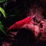 ...eine meiner Red Fire Garnelen :) - (Aquarium, Garnelen)