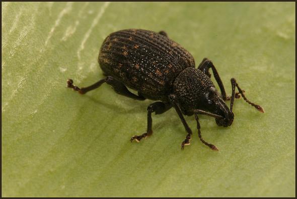Rüsselkäfer - (Biologie, Insekten, Kaefer)