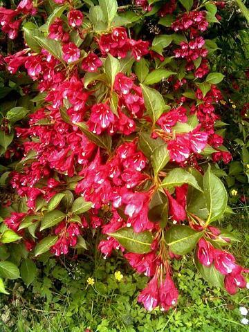 Weigelienstrauch - (Biologie, Pflanzen, Blumen)