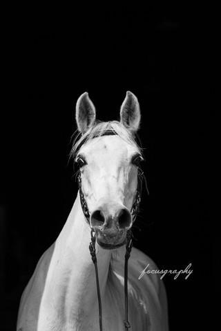 Araber - (Pferde, reiten, Pferderassen)