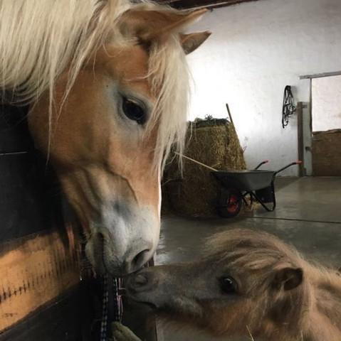 Falabella vs Haflinger  - (Hund, Pferde, Gewicht)