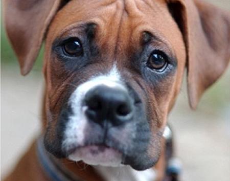 Boxer - (Hund, Boxer)