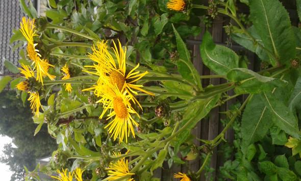 Jetzt sind die Blüten richtig geöffnet - (Garten, Pflanzen, Blumen)
