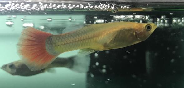 weibchen  - (Fische, Aquarium, guppy)
