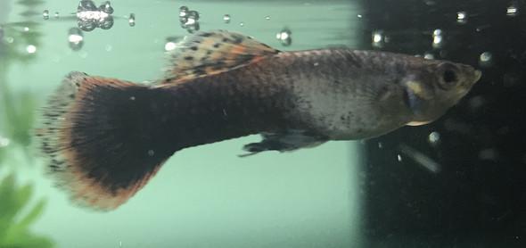 männchen  - (Fische, Aquarium, guppy)