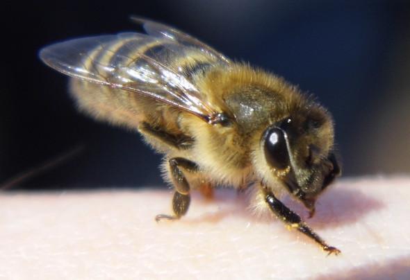 auf meinem Finger - (Freizeit, Bienen)